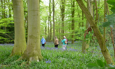 A beautiful stroll through Coton Manor Bluebell Woods April 2014